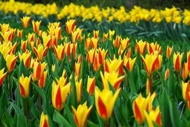 Tulipa Giuseppe Verdi,Tulip 'Giuseppe Verdi', Kaufmanniana Tulip 'Giuseppe Verdi', Waterlily Tulip 'Giuseppe Verdi', Kaufmanniana Tulips, Spring Bulbs, Spring Flowers, Bicolor tulip, Red tulip, Yellow tulip