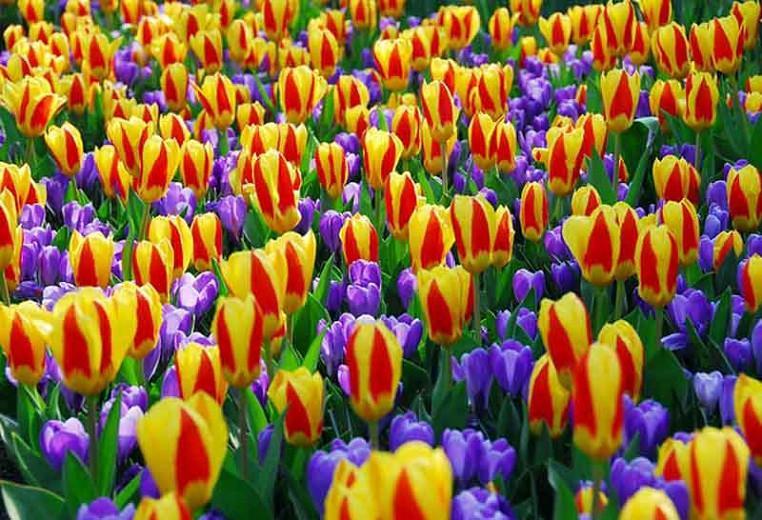 Tulipa Stresa,Tulipe Stresa,Tulip 'Stresa', Kaufmanniana Tulip 'Stresa', Waterlily Tulip 'Stresa', Kaufmanniana Tulips, Spring Bulbs, Spring Flowers, Bicolored Tulip, Red Tulip, Yellow Tulip