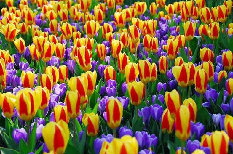 Crocus vernus Remembrance, Dutch Crocus 'Remembrance', Crocus 'Remembrance', Spring Bulbs, Spring Flowers ,Giant Dutch crocus, Dutch crocus, Early Spring bulbs, Violet bulb, Blue bulb, Early flowering bulb