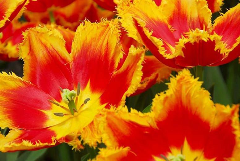 Tulipa 'Davenport', Tulip 'Davenport', Fringed Tulip 'Davenport', Fringed Tulips, Spring Bulbs, Spring Flowers, Red Tulips, Yellow Tulips, Bicolor Tulips, Tulipes Dentelle