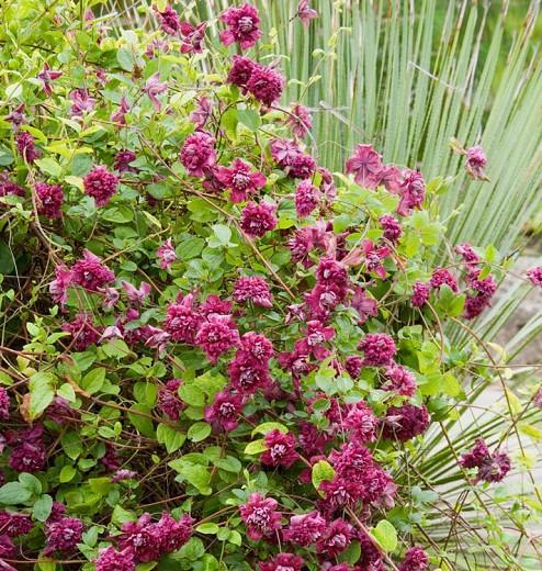 Clematis ''Purpurea Plena Elegans', Clematis Viticella 'Purpurea Plena Elegans', group 3 clematis, red clematis, Clematis viticella