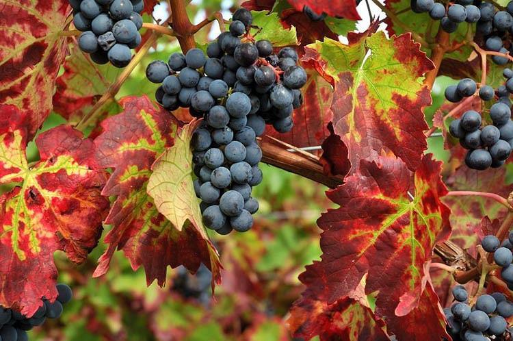 Vitis 'Boskoop Glory', Grape Vine 'Boskoop Glory', Grape 'Boskoop Glory', Vitis vinifera 'Gloire van Boskoop', Vitis 'Gloire of Boskoop', Grape Vines, Fall color