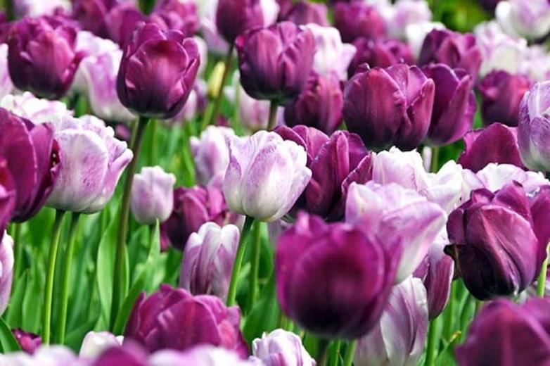 Tulipa Shirley, Tulip 'Shirley', Triumph Tulip 'Shirley', Triumph Tulips, Spring Bulbs, Spring Flowers, White tulip, Purple Tulip