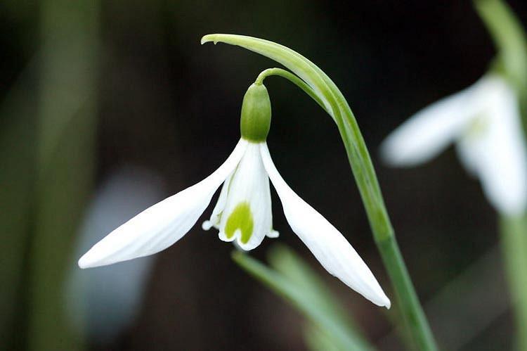 Galanthus 'Atkinsii', Snowdrop 'Atkinsii', Galanthus atkinsonii, Galanthus nivalis 'Atkinsii', early flowering bulb, winter bulb, white flowering bulb, White winter flowers