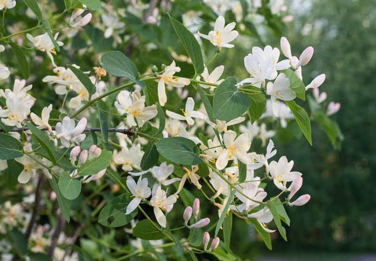 Lonicera fragrantissima, Sweetest Honeysuckle, Winter-Flowering Honeysuckle, White Flowers,  Winter Flowers, Fragrant Shrub, Winter Honeysuckle