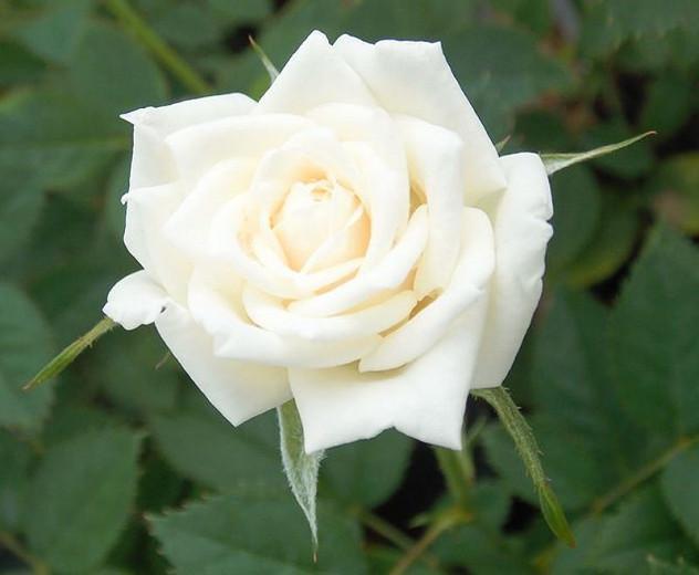 Rosa 'Full Sail', Rose 'Full Sail', Rosa ' Land of the Long White Cloud', Rosa ' Long White Cloud', Rosa 'MAClanoflon', Hybrid Tea Roses, Shrub Roses, White roses, Shrub roses, Rose bush
