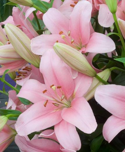 Lilium 'Brindisi', Lily 'Brindisi', LA Hybrid Lily, Longiflorum-Asiatic Lily, LA Hybrid Lilies, Longiflorum-Asiatic Lilies, Pink Lilies, Fragrant lilies, Lily flower, Lily Flower
