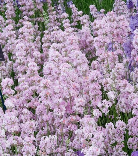Lavender Rosea, English Lavender 'Rosea', Lavender 'Rosea', Lavandula 'Rosea', Pink Lavender, Lavender Jean Davis, lavandula angustifolia Jean Davis, Drought tolerant plants, Deer resistant plants, fragrant flowers