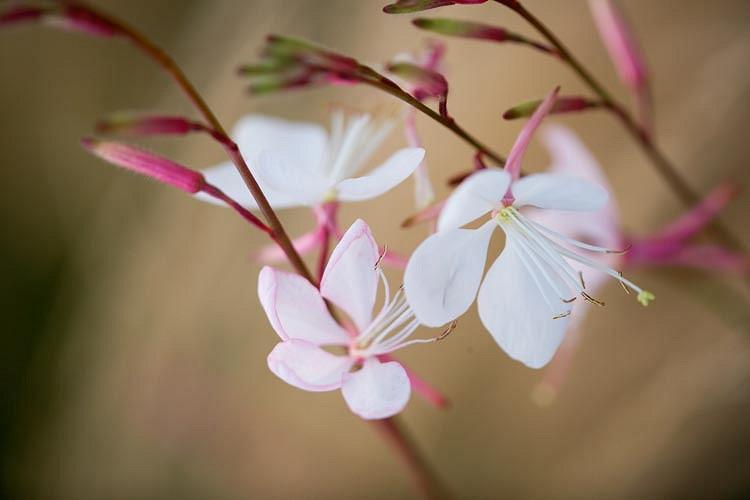 Gaura Lindheimeri 'Whirling Butterflies', Lindheimer's Beeblossom 'Whirling Butterflies', White Indian Feather, Gaura 'Whirling Butterflies', drought tolerant perennials, White Gaura, White flowers, deer tolerant flowers