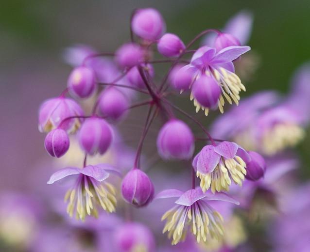 Thalictrum delavayi, Meadow Rue, Lavender Mist, Giant Meadow Rue, Chinese Meadow Rue, Yunnan Meadow Rue, lavender flowers, purple flowers, see through plant, perennial, perennial plant, perennials