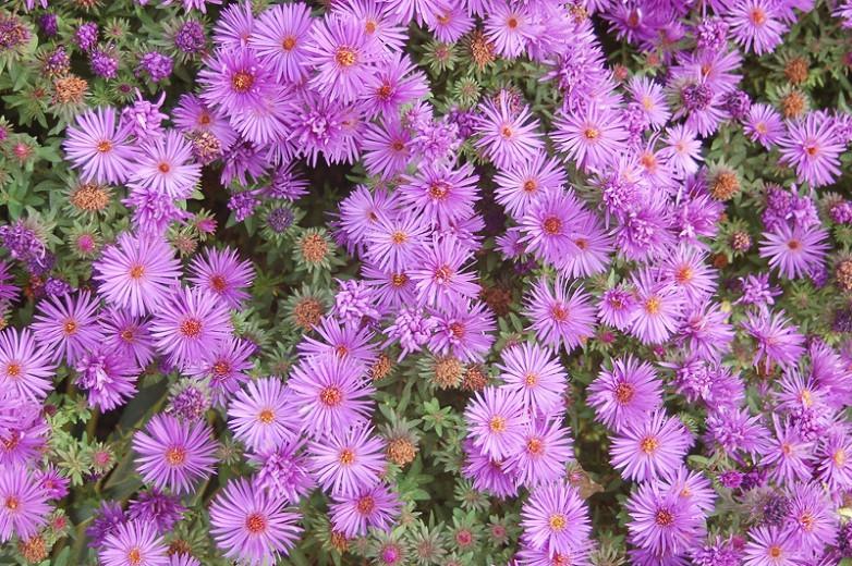 Aster Novi-Belgii 'Wood's Purple', New York Aster 'Wood's Purple', Michaelmas Daisy 'Wood's Purple', Symphyotrichum novi-belgii 'Wood's Purple', Purple Aster, Violet aster, Long-Leaf Aster 'Wood's Purple'