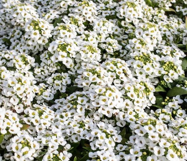 Lobularia 'Snow Crystals', Sweet Alyssum, Heat tolerant plants, Fragrant plants,Sweet Alyssum 'Snow Crystals', Alyssum maritimum  'Snow Crystals'