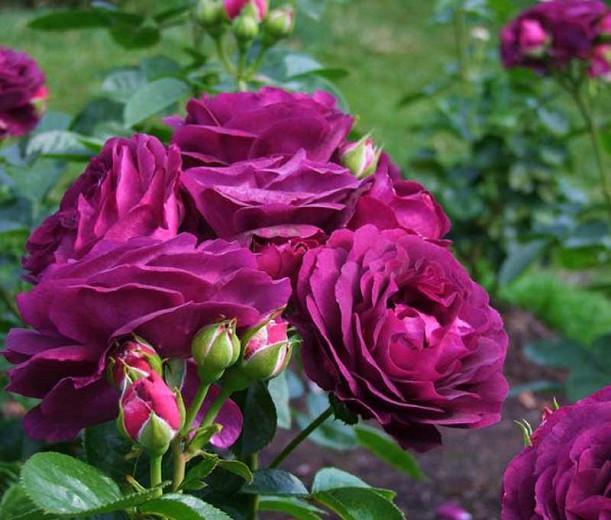 Rosa 'Twilight Zone', Rose 'Twilight Zone', Rosa 'WEKebbtidre', Rosa 'Wekebtidere', Grandiflora Rose 'Twilight Zone', Grandiflora Roses, Shrub Roses, Purple roses, Purple flowers, Shrub roses, Rose bush