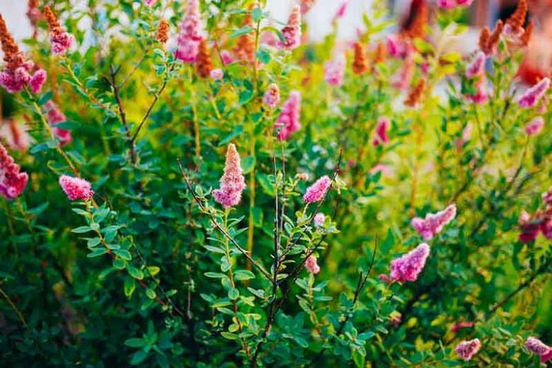 Spiraea douglasii, Pink Flowers, Western Spirea, Steeple Bush, Hardhack, Pink Spiraea, Rose Spiraea