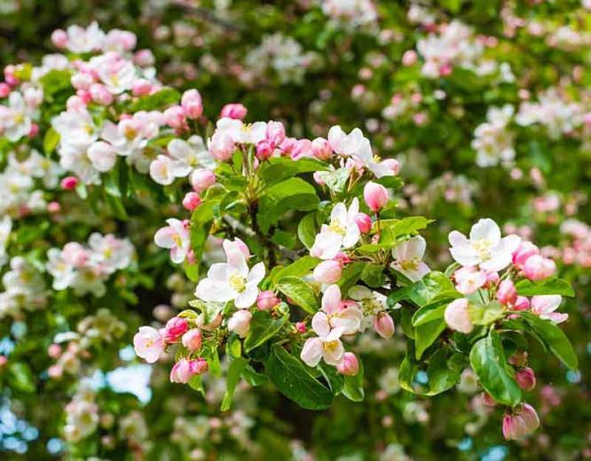 Malus 'Evereste', Crabapple 'Evereste', Crab Apple 'Evereste', Malus Perpetu, Malus 'Perpetu', Fragrant Tree, Red fruit, red berries, Winter fruits