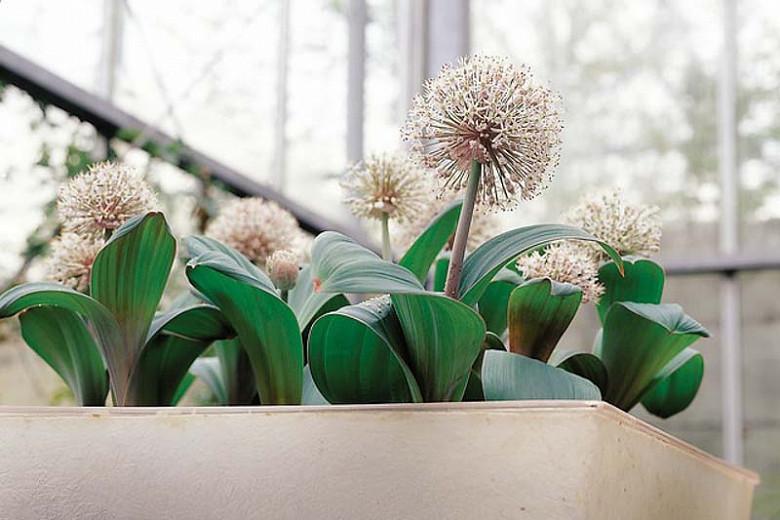 Allium Karataviense, Turkestan Onion, Kara Tau Garlic, Ornamental Onion, Spring Bulbs, Spring Flowers , Pink Onions, White Onions, Late Spring Bloom, Early Summer Bloom,
