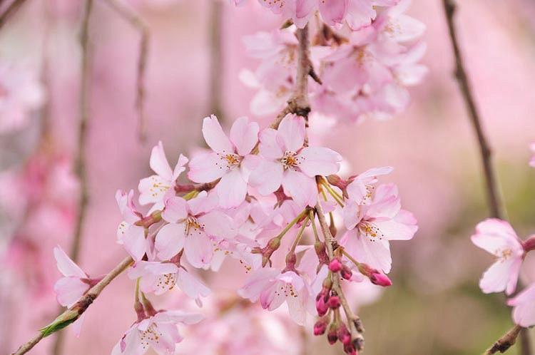 Prunus pendula 'Pendula Rosea', Weeping Cherry 'Pendula Rosea', Weeping Higan Cherry 'Pendula Rosea', Cherry 'Pendula Rosea', Drooping Rosebud Cherry 'Pendula Rosea', Prunus × subhirtella 'Pendula Rosea', Pink flowers, Spring Flowers