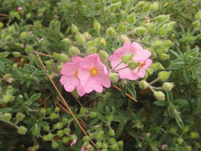 Cistus × skanbergii, Dwarf Pink Rockrose, Mediterranean plants, Mediterranean shrubs, Pink flowers, Waterwise plants