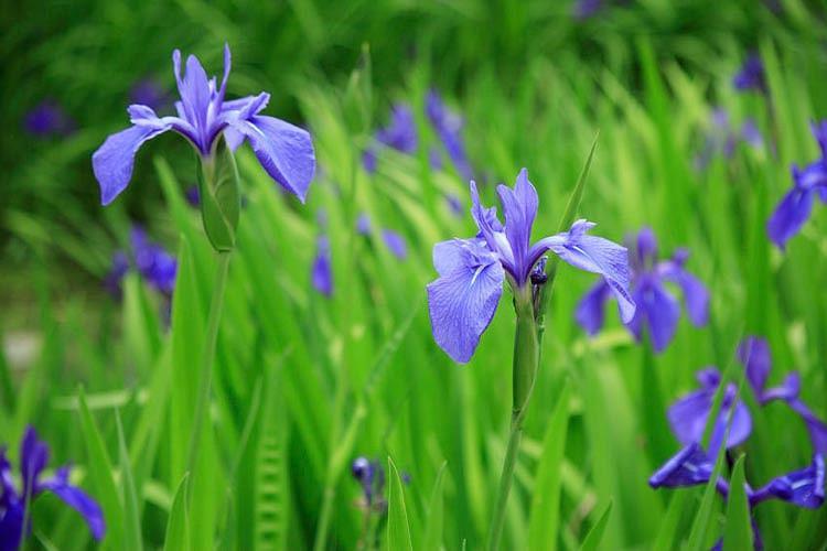Iris Laevigata, Water Iris, Rabbit-Ear Iris, Japanese Iris, Smooth Iris, Iris for Ponds, Perennial for wet soil, Perennial for poorly drained soils, Purple Flowers
