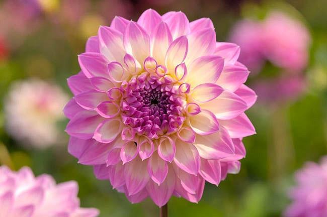 Dahlia 'Nepos','Nepos' Dahlia, Water Lily Dahlias, Waterlily Dahlias, Lilac Dahlias, Lavender Dahlias, Dahlia Tubers, Dahlia Bulbs, Dahlia Flower, Dahlia Flowers, summer bulbs