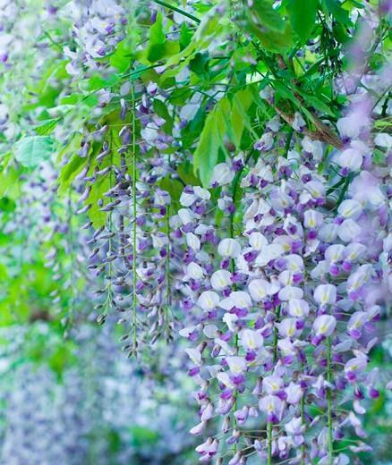 Wisteria Lavender Lace,Fragrant Vines, Fragrant Wisteria, Blue Wisteria, Lavender Wisteria