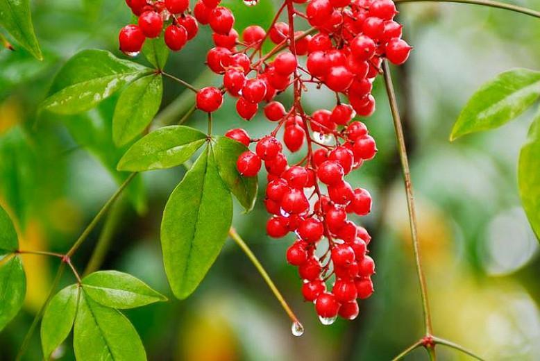Nandina Domestica, Heavenly Bamboo, Sacred Bamboo, Nandina, Chinese Sacred Bamboo, Evergreen Shrubs, Shrubs with berries