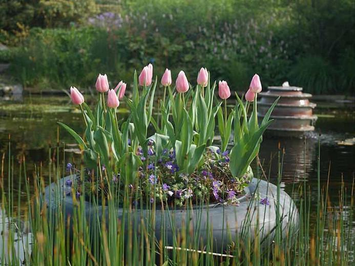 Tulipa Gabriella,Tulip 'Gabriella', Triumph Tulip 'Gabriella', Triumph Tulips, Spring Bulbs, Spring Flowers, Tulipe Gabriella, Pink Tulips, Tulipes Triomphe