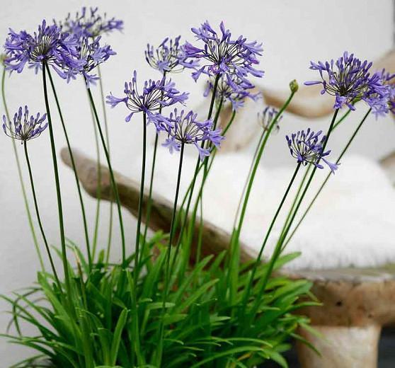 Agapanthus 'Donau', Lily of the Nile 'Donau', African Lily 'Donau', Blue flower, purple flower, Blue Agapanthus