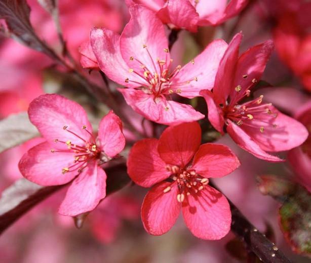 Malus 'Royal Raindrops', Crabapple 'Royal Raindrops', Crab Apple 'Royal Raindrops', Fragrant Tree, Red fruit, red berries, Winter fruits, Pink flowers,