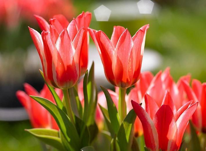 Tulipa Pinocchio, Tulip 'Pinocchio', Greigii Tulip 'Pinocchio', Greigii Tulips, Spring Bulbs, Spring Flowers, Tulipe Pinocchio, Red Tulips, Bicolored Tulips, Tulipes Greigii