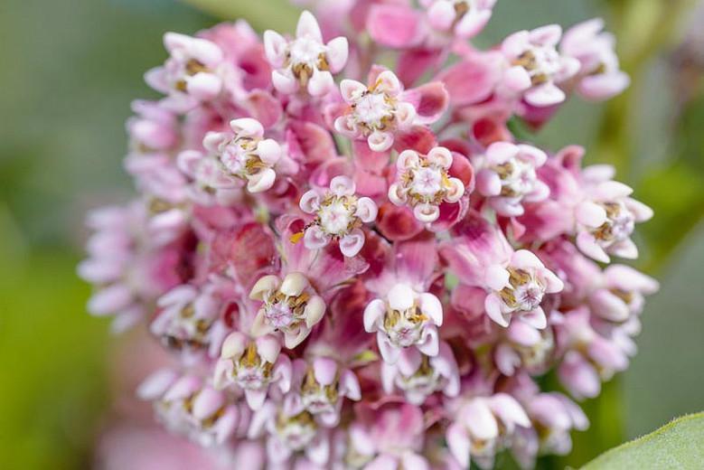Asclepias incarnata, Swamp Milkweed, Pink Milkweed, Pink flowers