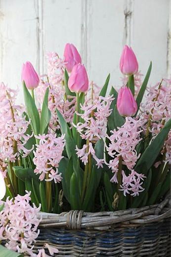 Hyacinthus Orientalis 'Pink Festival', Hyacinth 'Pink Festival', Multi-flowering Hyacinth, Dutch Hyacinth, Hyacinthus Orientalis, Hyacinthus Multiflora, Spring Bulbs, Spring Flowers, Pink hyacinth, Pink flower