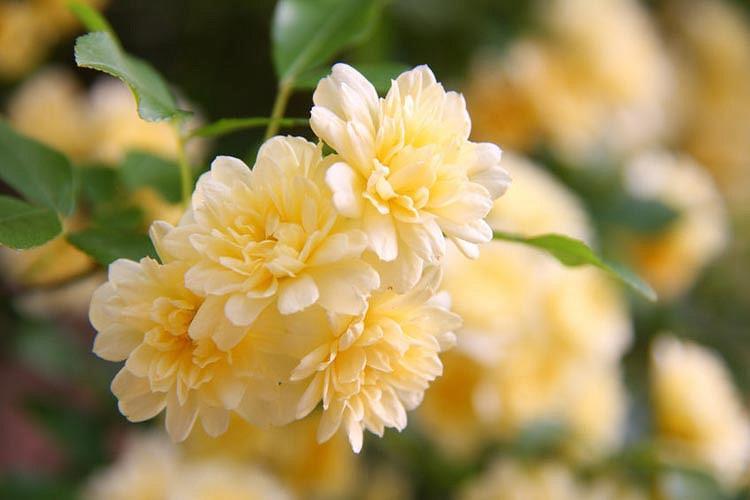 Rosa banksiae 'Lutea',Lady Banks' Rose, Yellow Banksian Rose, Yellow banksia Rose, Double Yellow banksia Rose, Rambler Roses, Climbing Roses, Yellow roses, Shrub roses, Rose bushes, Garden Roses