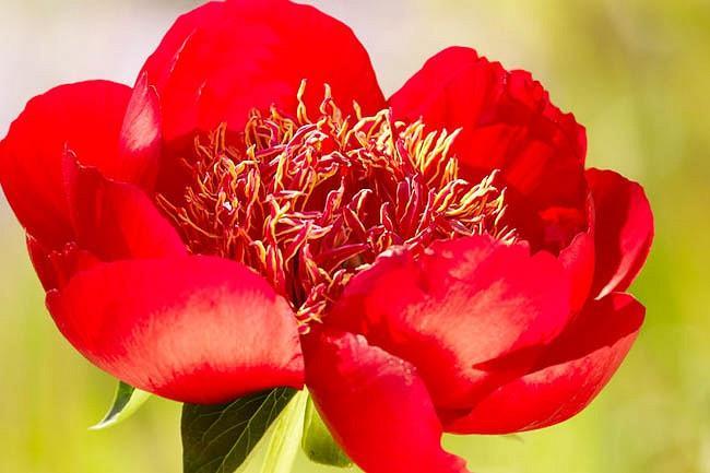 Paeonia 'Walter Mains', Peony 'Walter Mains', 'Walter Mains' Peony, Red Peonies, Red Flowers, Fragrant Peonies