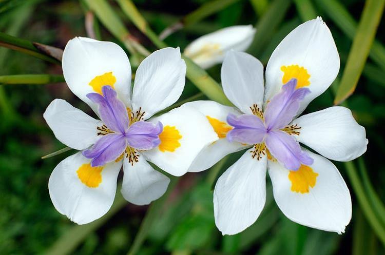 Dietes iridioides,Fortnight Lily, Wild Iris, Cape Iris, African Iris, White Iris,Moraea iridioides, Dietes vegeta