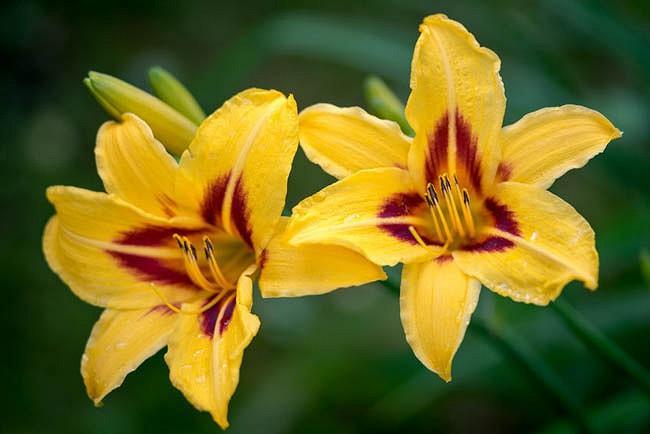 Hemerocallis Bonanza, Daylily Bonanza, Day Lily Bonanza, Bonanza Daylily, Midseason Daylily, yellow daylilies, yellow Daylily, Day Lilies, yellow flowers, yellow Hemerocallis
