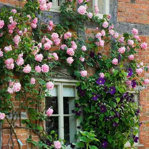 Rose 'Mme Caroline Testout', 'Caroline Testout', Rosa 'Mme Caroline Testout', Climbing Rose 'Mme Caroline Testout', Climbing Roses, Hybrid Tea Roses, Pink roses,  fragrant roses, Shrub roses, Rose bushes, Garden Roses