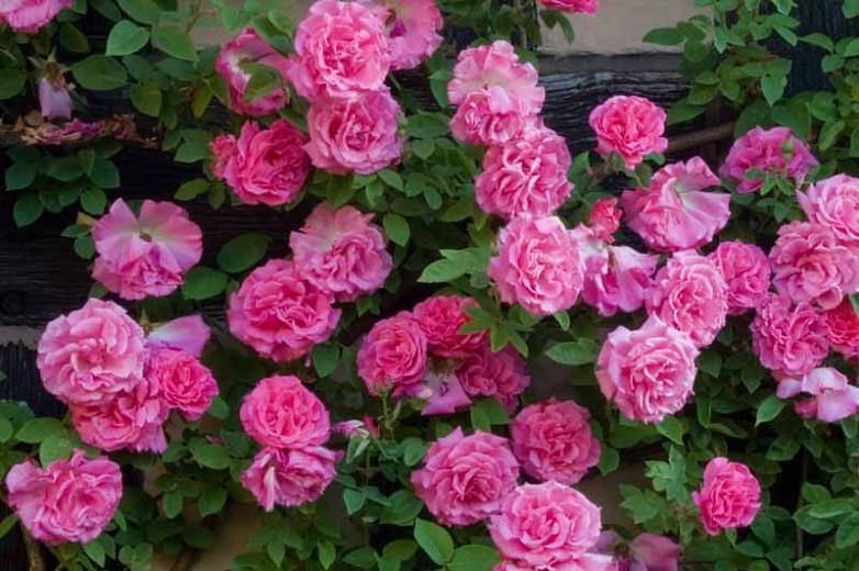 Rose 'Zéphirine Drouhin'', 'Zéphirine Drouhin'', Rosa 'Zéphirine Drouhin', Climbing Rose 'Zéphirine Drouhin', Climbing Roses, Bourbon Roses, Pink roses, fragrant roses, Shrub roses, Rose bushes, Garden Roses