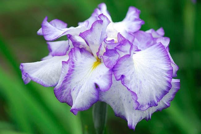 Japanese Iris Frilled Enchantment, Japanese Flag Frilled Enchantment, Japanese Water Iris Frilled Enchantment, Iris kaempferi Frilled Enchantment, White Japanese Iris, Best Japanese irises