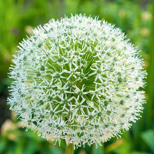 Allium stipitatum 'White Giant', White Allium , Ornamental Onion 'White Giant', Spring Bulbs, Spring Flowers, Late Spring Bloom, Early Summer Bloom