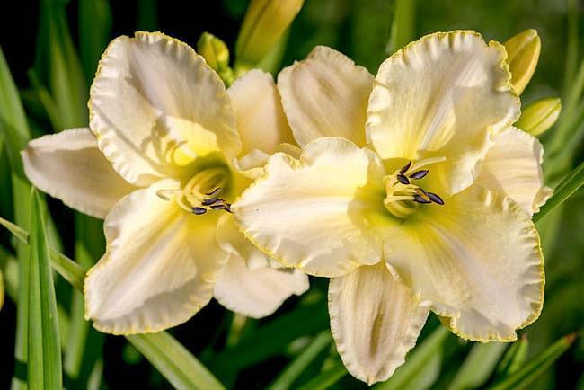Hemerocallis 'Marque Moon', Daylily 'Marque Moon', Day Lily 'Marque Moon', 'Marque Moon' Daylily, Late Midseason Daylily, Yellow daylilies, Yellow Daylily, Day Lilies, Yellow flowers,Yellow Hemerocallis
