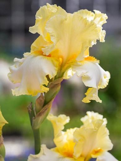 Iris 'Champagne Walz', Tall Bearded Iris 'Champagne Walz', Iris Germanica 'Champagne Walz', Mid Season Irises, Yellow irises, Award Irises, Bicolor Irises