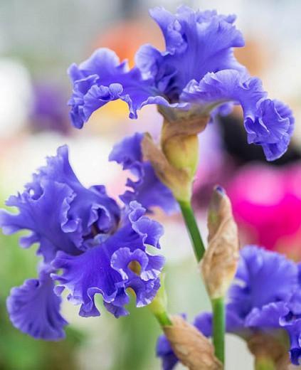Iris 'Yaquina Blue', Tall Bearded Iris 'Yaquina Blue', Iris Germanica 'Yaquina Blue', Mid Season Irises, Blue irises, Award Irises