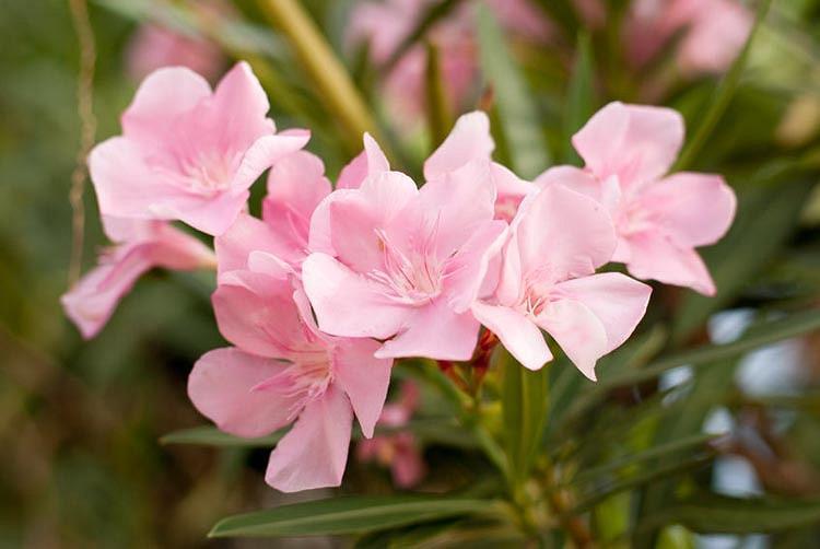 Nerium Oleander 'Petite Pink', Oleander 'Petite Pink', Laurier Rose 'Petite Pink', Rose Bay 'Petite Pink', Pink Oleander, Dwarf Oleander, Mediterranean plants, Mediterranean shrubs, Evergreen Shrubs
