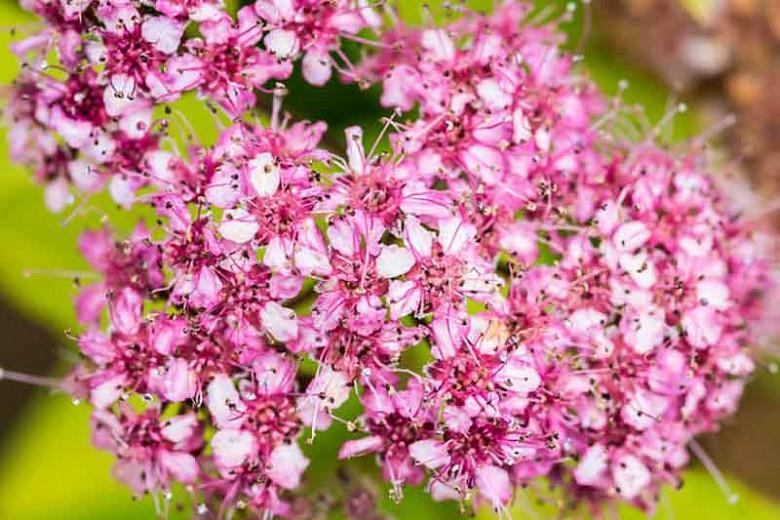 Spiraea japonica Magic Carpet 'Walbuma', Japanese Spirea 'Magic Carpet', Magic Carpet Spirea, Walbuma Japanese Spirea, Spiraea japonica 'Walbuma', Yellow Spirea, Pink Flowers