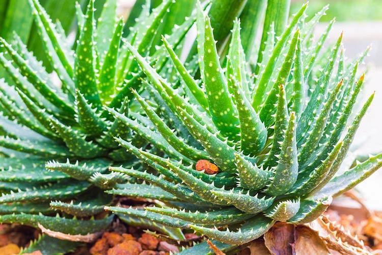 Aloe 'Crosby's Prolific',Red Aloe, Crimson Aloe, Red succulent, Small Aloe, Dwarf Aloe