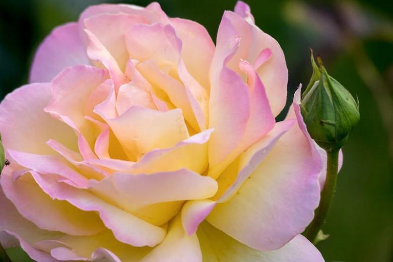 Rosa 'Peace', Rose 'Peace', Rosa 'Madame A. Meilland', Rosa ' Gloria Dei', Rosa 'Gioia', Hybrid Tea Roses, Shrub Roses, Yellow roses, Pink roses, Shrub roses, Rose bush