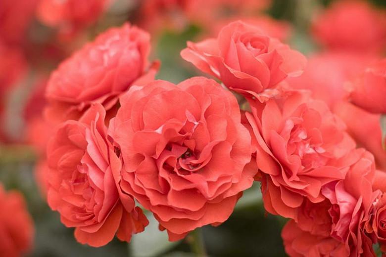 Rosa 'Trumpeter',Rose 'Trumpeter', Rosa 'MACtrum', Shrub Roses, Floribunda Roses, Red Roses, Red Flowers