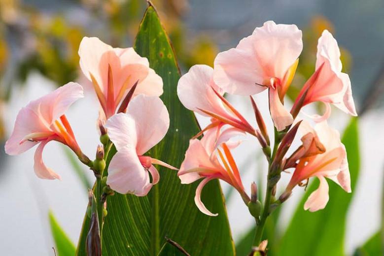 Canna 'Apricot Dream', Indian Shot 'Apricot Dream', Cana Lily Apricot Dream, Canna Lily bulbs, Canna lilies, Apricot Canna Lilies, Apricot Flowers, Salmon Canna Lilies, Salmon Flowers
