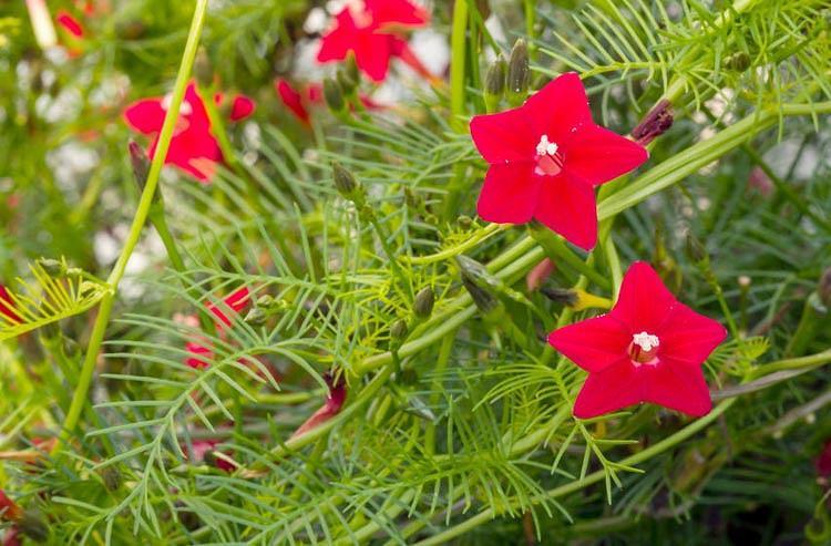 Ipomoea Quamoclit, Cardinal Climber, Cypress Vine, Cypressvine Morning Glory, Cardinal Creeper, Cardinal Vine, Star Glory, Hummingbird Vine, Annual Vine, Red Flowers,
